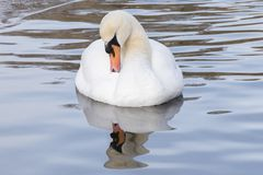 A white swan in an icy pond. A white swan on the Cemetery Lake on Southampton Common, Hampshire, UK on an icy day royalty free stock image