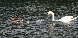 White swan chases a duck Stock Photos