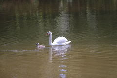 White Swan with Chick Stock Image