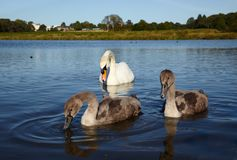 White swan with chicks Royalty Free Stock Photography