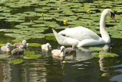 White swan with chicks Stock Image