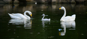 White swan and children Royalty Free Stock Image