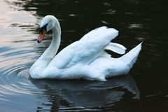 White swan chilling on lake. Lovely white swan swimming on lake waiting to catch fish Royalty Free Stock Photo