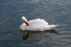 White swan. In the city of Fontainebleau Stock Photo