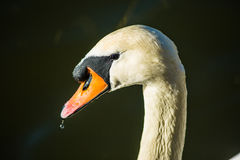 White Swan. In city Prague Stock Photos