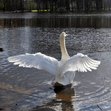White swan clapping wings Royalty Free Stock Photo