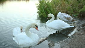 White swan clean his feathers stock video footage