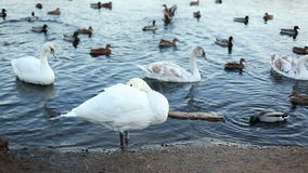 White swan clean his feathers stock footage