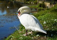White swan cleaning feathers on the field under sunrays Royalty Free Stock Photography
