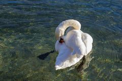 A white swan is cleaning his feathering. Swimming on a lake with clear water Royalty Free Stock Photo