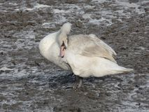 White swan cleaning itself by the river. White swan cleaning itself by the muddy river bank in Chatham, Kent, UK Royalty Free Stock Photography
