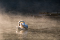 White swan cleaning on reservoir Stock Image