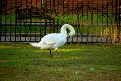 White Swan cleans feathers standing on green grass.Goose at the zoo. royalty free stock image