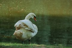 White swan cleans feathers at the summer rural riverside close up royalty free stock photos