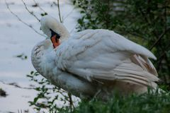 White swan cleans feathers at the summer rural riverside close up stock photography