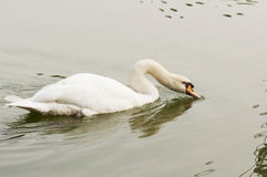 White Swan. Close up of a white swan drinking water in lake Royalty Free Stock Images
