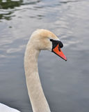 White swan. Close up of the head white swan Royalty Free Stock Photography