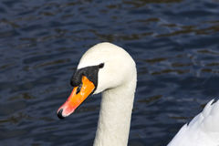 White swan closeup bright clear image contrast. Horizontal shot, sunny day Royalty Free Stock Photo