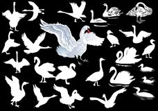 White swan collection on black Royalty Free Stock Images