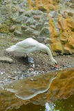 White swan costs on the bank of the lake Stock Image