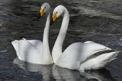 White swan couple Stock Photography
