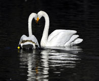White swan couple Royalty Free Stock Image