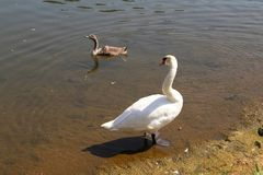 White swan with cub on the river.  royalty free stock image