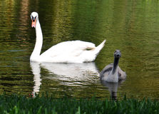 White Swan and curious cygnet Stock Photo