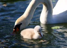 White Swan Cygnet with Mother Stock Images