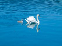 White swan with cygnet Royalty Free Stock Photo