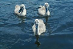 White Swan Cygnets. On a Lake Stock Photography