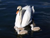 White Swan Cygnets with Mother Royalty Free Stock Images
