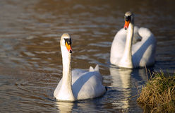 White swan-Cygnus Royalty Free Stock Photos
