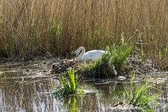 White swan (cygnus olor) - bird nest. White swan (cygnus olor) nesting in reeds on a lake Royalty Free Stock Photography