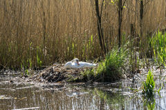 White swan (cygnus olor) - bird nest. White swan (cygnus olor) nesting in reeds on a lake Stock Photography