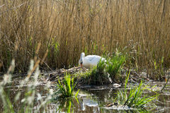 White swan (cygnus olor) - bird nest. White swan (cygnus olor) nesting in reeds on a lake Stock Photos