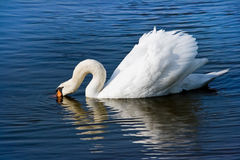 White swan or Cygnus olor feeding. White swan or Cygnus olor searching for food Stock Photos
