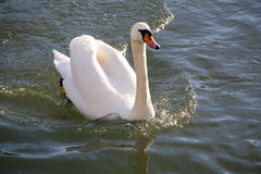 White swan cygnus olor floating on the crystal clear lake stock photo