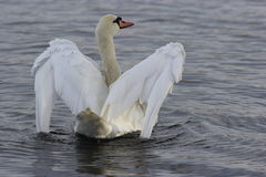 White Swan (Cygnus Olor) on inky water. Mute swan (Cygnus olor)  white wings brushing on ink water before stretching out to embrace a new day Royalty Free Stock Photography