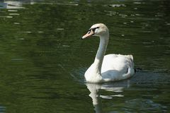 White Swan. A White Swan Cygnus olor swimming in a pond in Stavanger, Norway Royalty Free Stock Photo