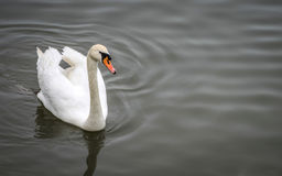 A White Swan. On Danube Royalty Free Stock Images