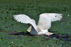 White swan in the Danube Delta Royalty Free Stock Image