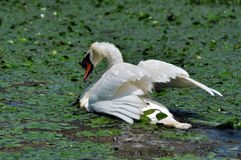 White swan in the Danube Delta Royalty Free Stock Images