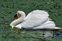 White swan in the Danube Delta Stock Photos