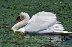 White swan in the Danube Delta Stock Photos