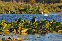 White swan in Danube delta. At sunset stock images