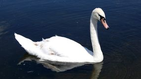 White swan. In a dark blue lake Royalty Free Stock Photos