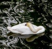 White swan on the dark lake Royalty Free Stock Image
