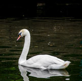 White swan on the dark lake Stock Images