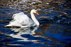 White swan on dark water, reflection of bird in water_. White swan on dark water, reflection of bird in water royalty free stock photos
